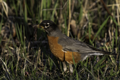 D8500847-American-Robin-with-worms-in-its-beak