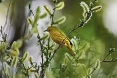 D8501326-Yellow-Warbler