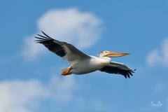 D8505637-American-White-Pelican-in-Flight-Copy