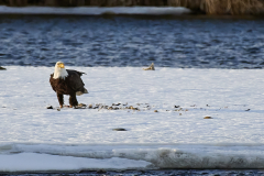 D8508288-Bald-Eagle-with-kill-on-the-Bow-river