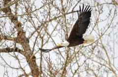 D8508598-Bald-Eagle_