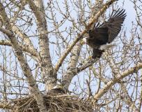 D8508847-Bald-Eagles-building-nest