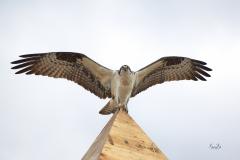 d8509834-Osprey-in-Fishcreek-Park