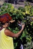 2019_8500393-_Girl-Harvesting-Grapes
