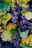 Grapes-Netted-for-IceWine-Harvest-8500465