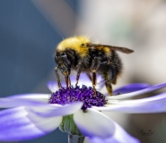 Bumble-bee-on-Cineraria-8501549