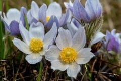 D85003430-Crocus-Flower-in-Fishcreek-Park