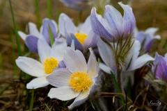 D85003437-Crocus-Flower-in-Fishcreek-Park