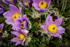 D850087-Pasque-Flower-Calgary-Alberta