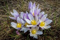 D8503584-Crocus-flowers