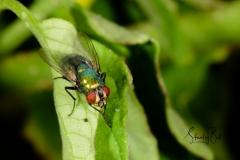 Housefly-Macro-3