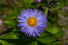 Flower (Bellis perennis) Common daisy along Highway 40