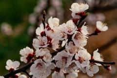 Peach-blosoms-8500464
