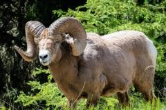 Rock Mountain Bighorn sheep -Ram