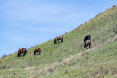 D8504106-Wild-Horses-grazing-on-a-mountain-slope_