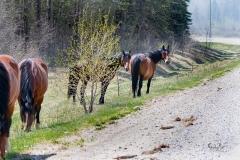 D8504181-Wild-Horse-near-YaHaTinda-on-Nordeg-Road