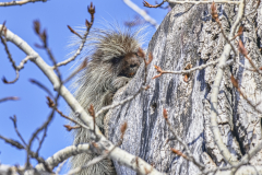 D8509098v1-Porcupine-in-a-tree-looking-at-me