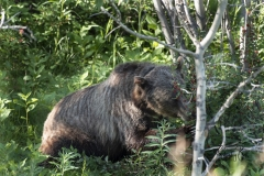 Grizzly-bear-in-Kananaskis eating berries