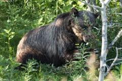 Grizzly-bear-in-Kananaskis-3