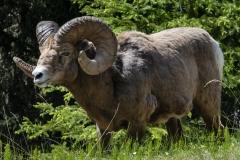 Rocky-Mountain-Big-Horn-Ram