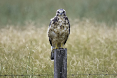 8503410-Immature-Swainsons-hawk-on-barbed-wire-fence-post-scaled