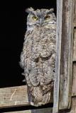 8503985-Great-Horned-Owl-starte-down