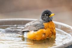 American-Robin-in-bird-bath-8502869