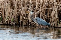 Blue-Herron-with-fish