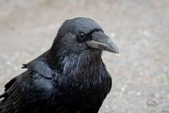 D757798-Raven-at-Bow-Lake-in-Banff