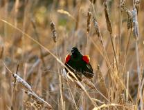 D759179-Redwing-Blackbird-calling