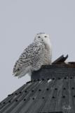 D8501907-Snowy-Owl-on-a-metal-silo
