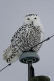 D8501994-Snowy-Owl-on-a-power-line