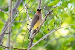 D8504281-Cedar-Waxwing-perched-in-a-hawthorne-tree