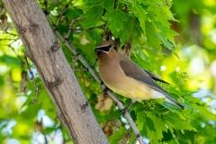 D8504345-Cedar-Waxwing-in-a-Manitoba-maple-tree