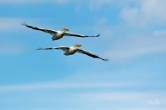 D8505657-Pair-of-American-White-Pelicans-in-Flight-Copy