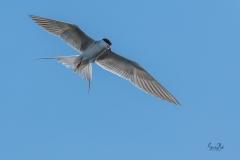 D8505893-Arctic-Tern-hovering_-Copy