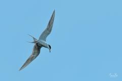 D8505914-Arctic-Tern-Ready-to-Dive-Copy-1