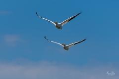 D8505945-Pair-of-American-White-Pelicans-in-Flight-Copy