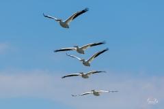 D8505955-American-White-Pelicans-in-Flight-Copy