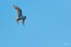 D8506015-Arctic-Tern-Ready-to-Dive-Copy