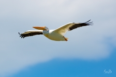 D8506169-American-White-Pelican-in-Flight-Copy