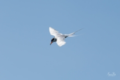 D8506540-Arctic-Tern-diving-Copy