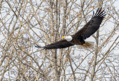 D8508418-Bald-Eagle-returning-to-nest-with-grasses