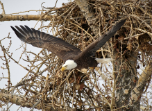 D8508592-Bald-Eagle-diving-from-nest