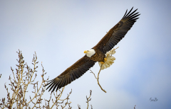 D8508694-Bald-Eagle-with-twig-for-nest