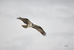 D8509878-Soaring-Osprey-in-Fishcreek-Park