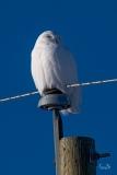 D850_7617-Snowy-Owl-scaled