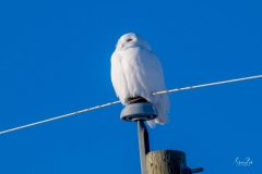 D850_7628-Snowy-Owl-scaled