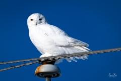D850_7688-Snowy-Owl-Langdon-Alberta-area