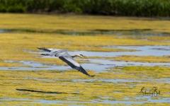 Great-Blue-Heron-9